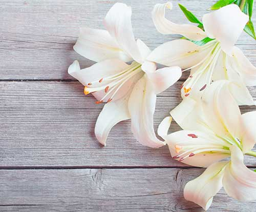 white lily suitable for funeral flowers