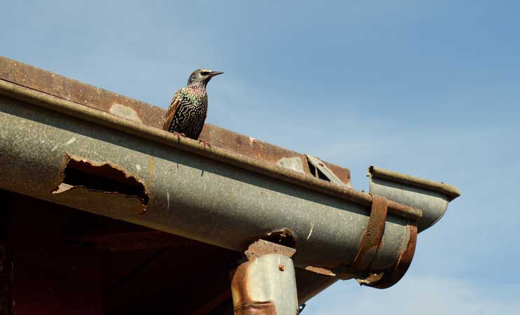 Buildings Insurance exclusions: Starling sitting on rusty old gutter